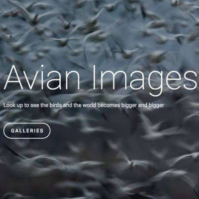 Avian Images (SquareSpace)